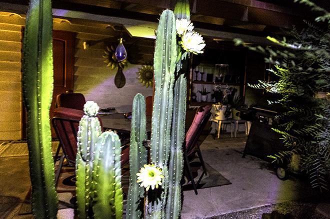 Orgelpfeiffen Kaktusblüten vom 18. Juli 2015 Foto: Christine Lisse