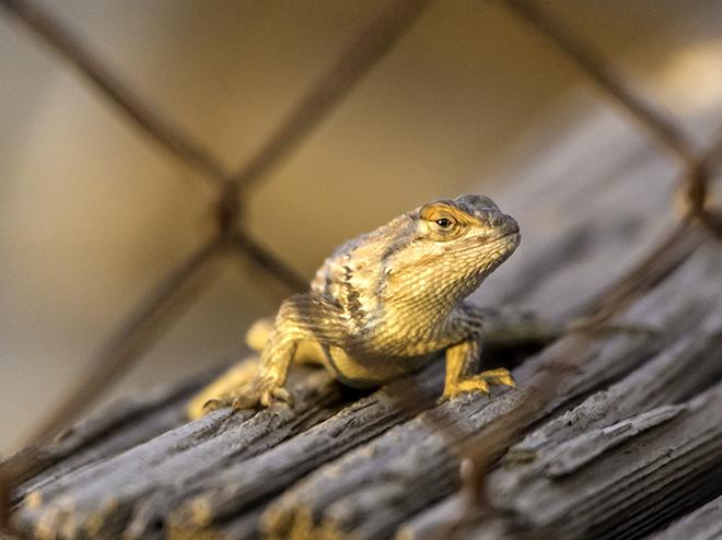 Sonoran Collared Lizard (Crotaphytus nebrius) Foto: Christine Lisse