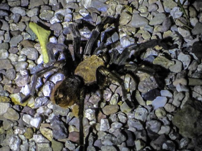 Arizona blond tarantula (Aphonopelma chalcodes) Foto: Christine Lisse