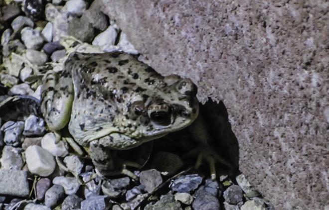 Arizona toad (Anaxyrus microscaphus) Foto: Christine Lisse