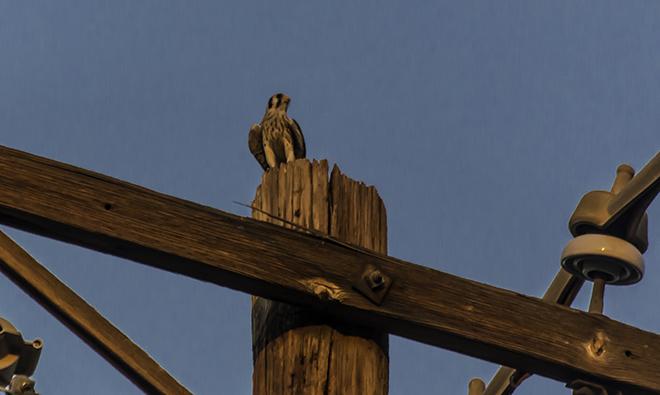 Buntfalke (Falco sparverius) Foto: Christine Lisse