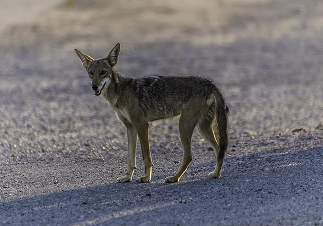 Kojote im Abendlicht Foto: Christine Lisse