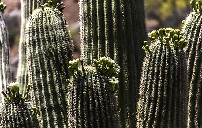 Saguaro Blüte im Tonto National Monument, Arizona Foto: Christine Lisse