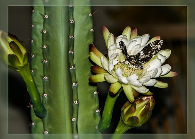Organ Pipe Cactusblüte mit Sphinx Moth Foto: Christine Lisse