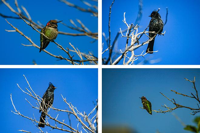 Kolibri (Trochilidae) & Trauerseidenschnäpper (Phainopepla nitens) Fotos: Christine Lisse