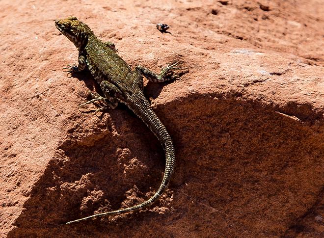Western Sagebrush Lizard ( Sceloporus graciosus gracilis) Foto: Christine Lisse