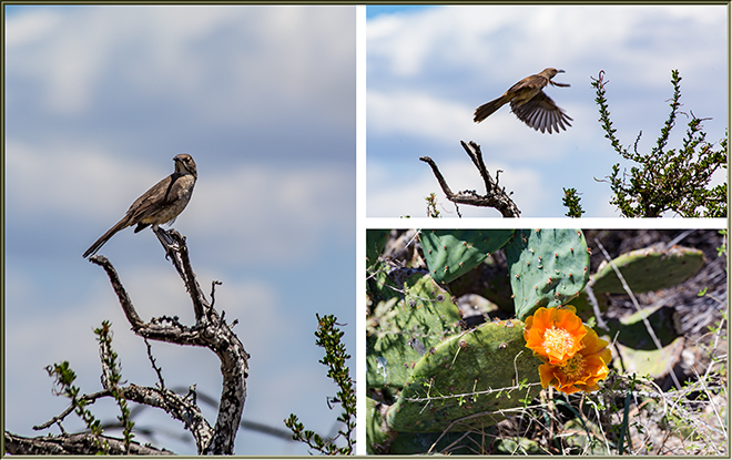 Curve-billed Thrasher (Taxostoma curviostre) & Prickly pears cacuts (Opuntia) Fotos: Christine Lisse