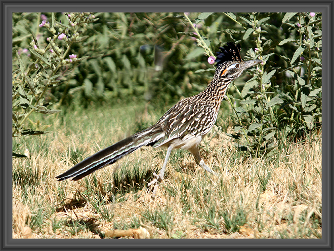 Roadrunner (Geococcyx californianus) Foto: Christine Lisse