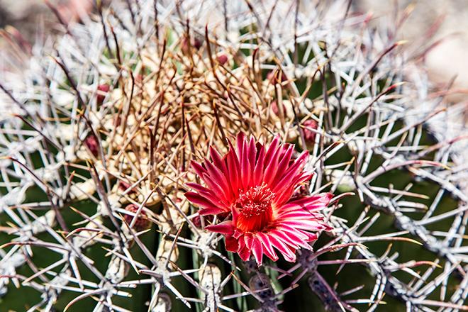 Ferocactus wislizeni | Organ Pipe Cactus Monument | Arizona Foto: Christine Lisse