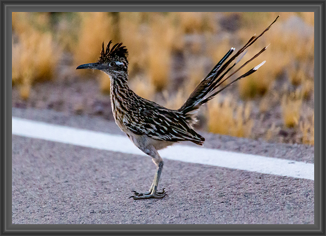 Roadrunner (Geococcyx californianus) Foto: Peter Lisse