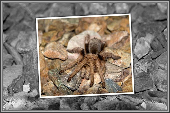 Vogelspinne (Aphonopelma chalcodes) ♀ | Tucson | Arizona Foto: Christine Lisse