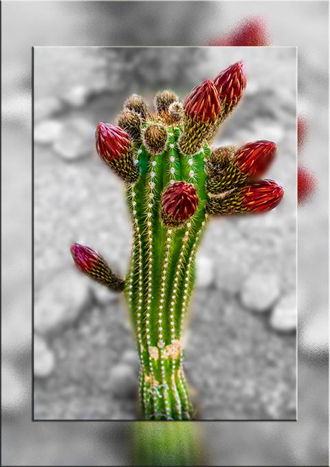 ein Echinopsis Kaktus mit 7 roten Knospen