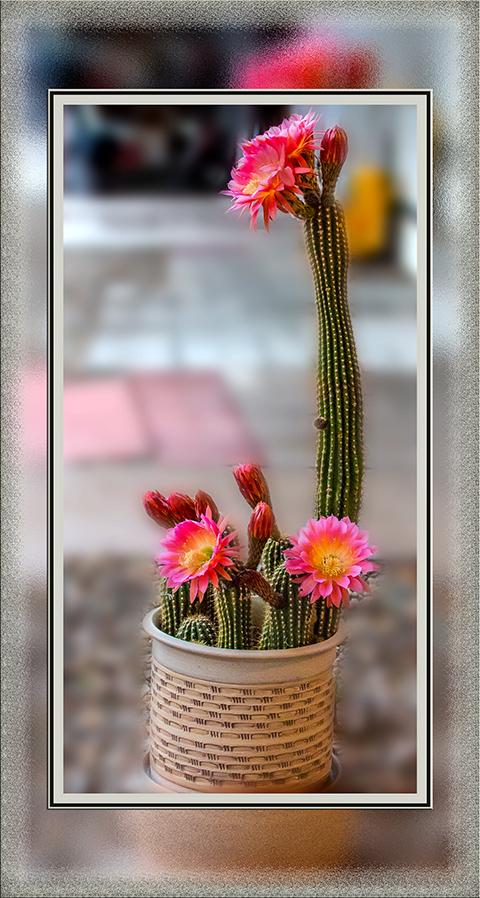 Ein Echinopsis Kaktus im Topf mit 4 Blüten sowie 6 Knospen