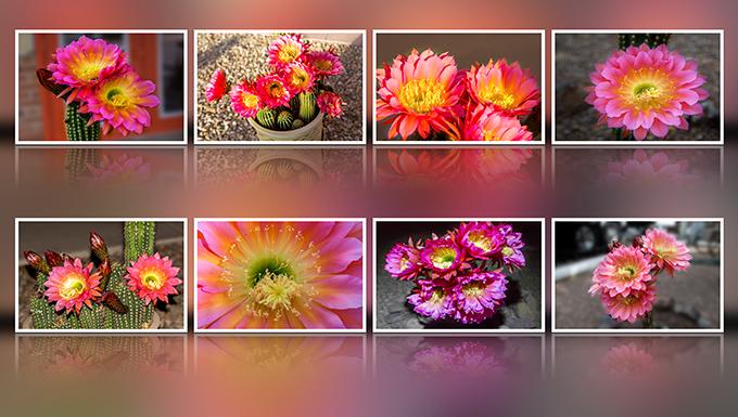zweireihige gespiegelte Collage mit 8 Bildern einer Echinopsis Kaktus Blüte