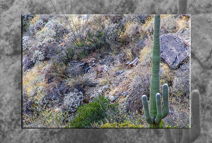 Bighorn Schaf | Sabino Canyon | Tucson | Arizona Foto: Peter Lisse