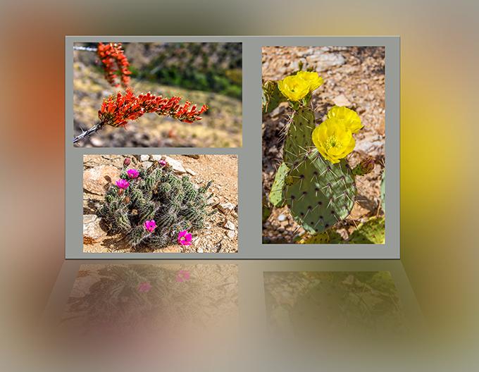 roter Ocotillo | lila Erdbeer Kaktus | gelber Feigenkaktus Fotos: Peter Lisse