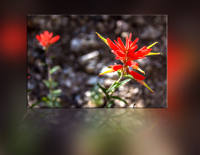 Indian paintbrush (Castilleja linariifolia) Foto: Peter Lisse