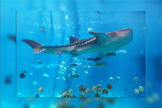 Walhai im Aquarium von Atlanta