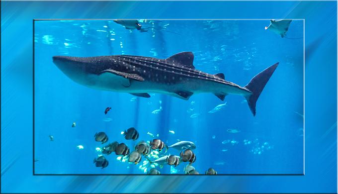 Walhai im Aquarium Atlanta