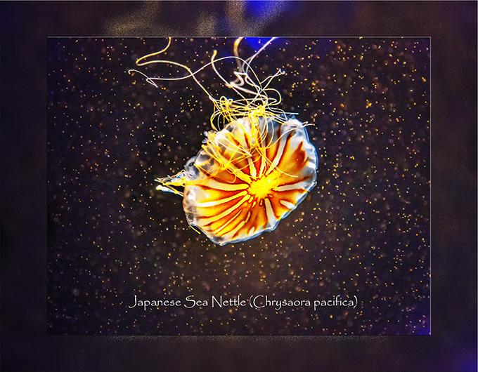 japanische Qualle