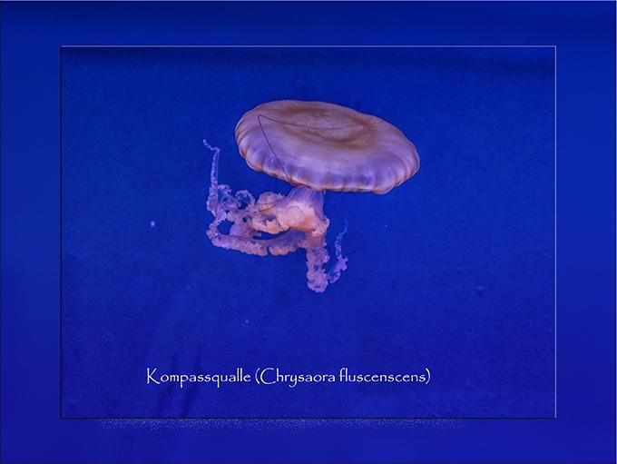 Qualle im Aquarium Atlanta