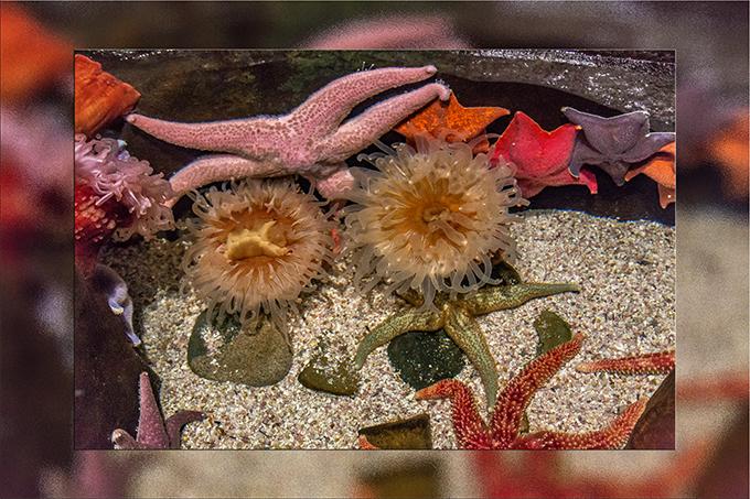 Tidepool mit Seesternen und Anemonen