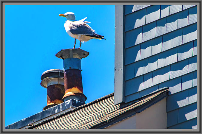 Silbermöwe | Portland | Maine