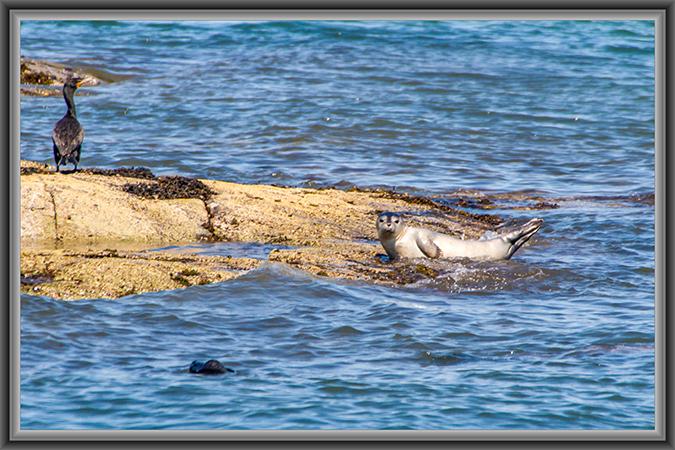 Seehundbaby und Kormoran auf einem Felsen
