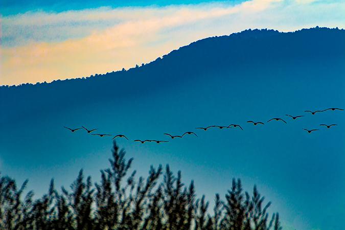 Wildgaense im Morgengrauen | Shenendoah National Park | Virginia
