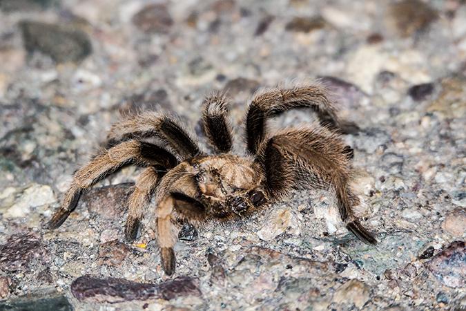 aphonopelma-chalcodes-engl-arizona-blond-tarantula