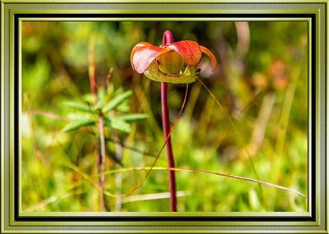 Rote Schlauchpflanze (Sarracenia purpurea)