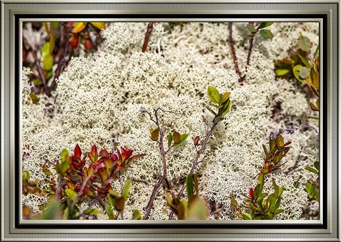 Echte Rentierflechte (Cladonia rangiferina)