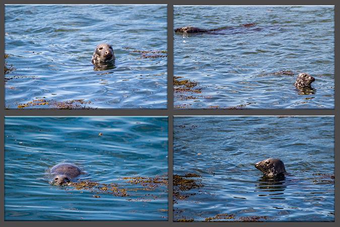Gray-Seals-Kegelrobben auf Campobello Island Kanada