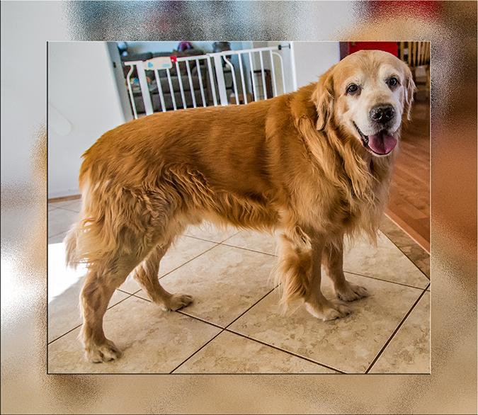 Rufus ist ein großer Golden Retriever