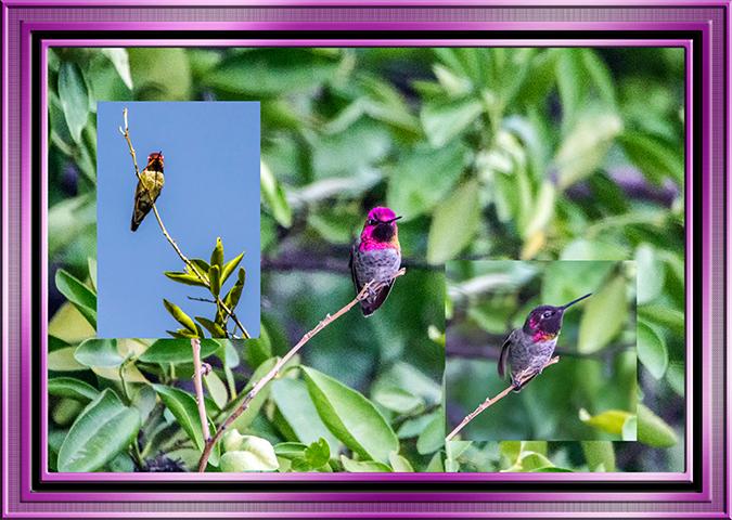 Collage Hummingbirds